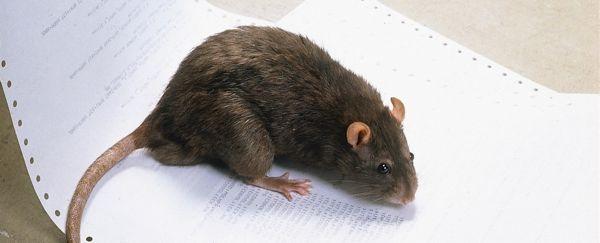 10 tipps zum vorbeugen ratten fernhalten know how news f r heimwerker. Black Bedroom Furniture Sets. Home Design Ideas